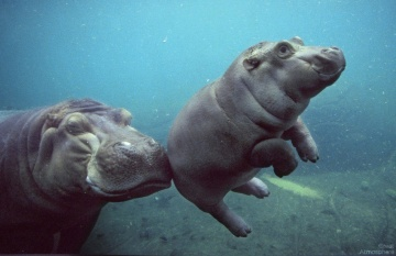 great-atmosphere-hippopotamus-baby-beautiful-164-1
